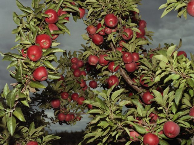 John Arsenault, Apples