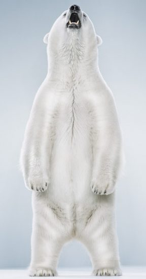 Jill Greenberg, Untitled Ursine 5-4