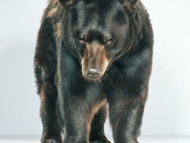 Jill Greenberg, Untitled Ursine 56-9
