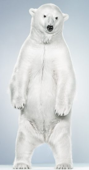 Jill Greenberg, Untitled Ursine 7-6