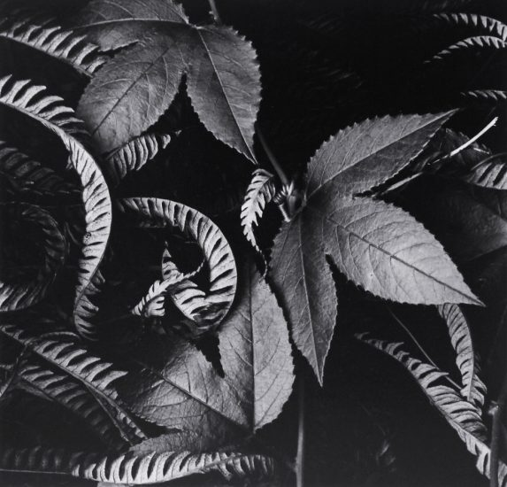Brett Weston, Ivy & Leaves (Hawaii)