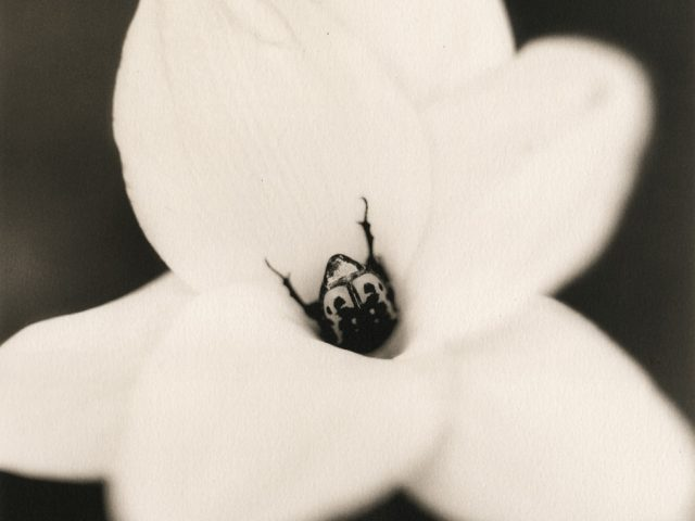 Johndrow_Beetle on Rain Lily-980