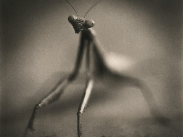 Johndrow_Mantis-989