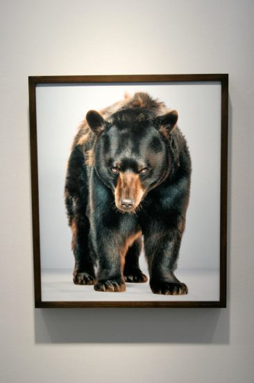 Jill Greenberg, New Bears Exhibition 3