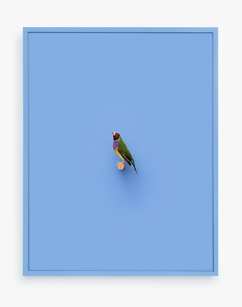 Gouldian Finch (Ray of Power)