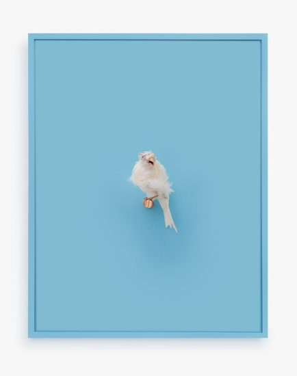 Daniel Handal, White Parisian Frilled Canary (New Age)