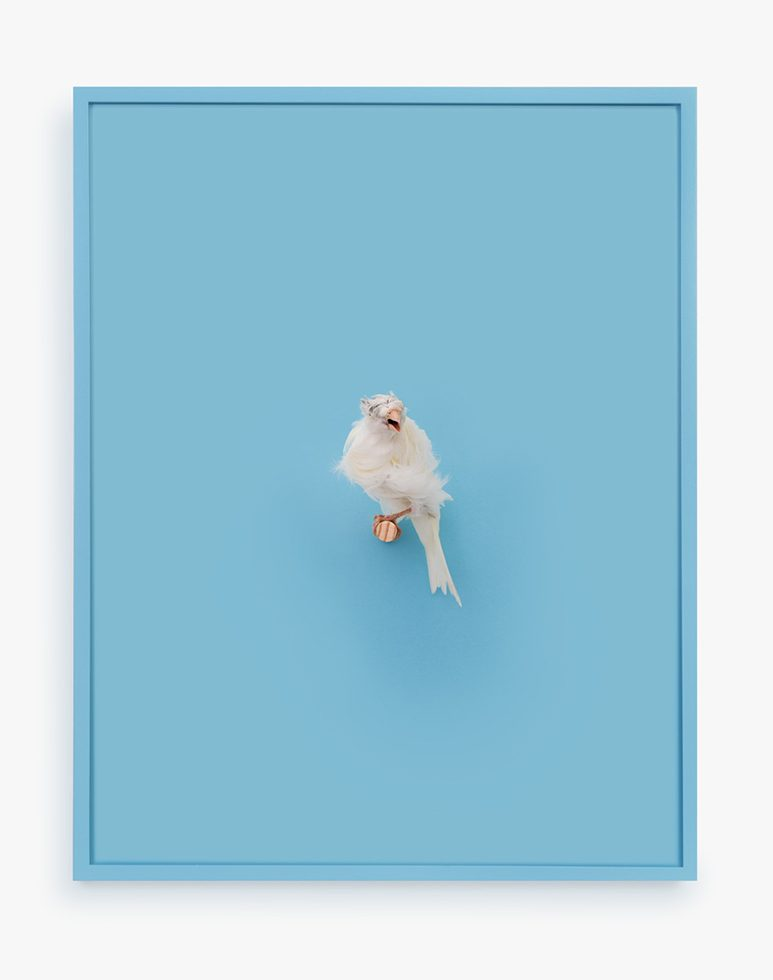 White Parisian Frilled Canary (New Age)