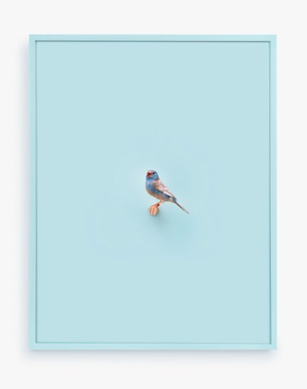 Daniel Handal, Cordon Bleu Finch (First Ray)