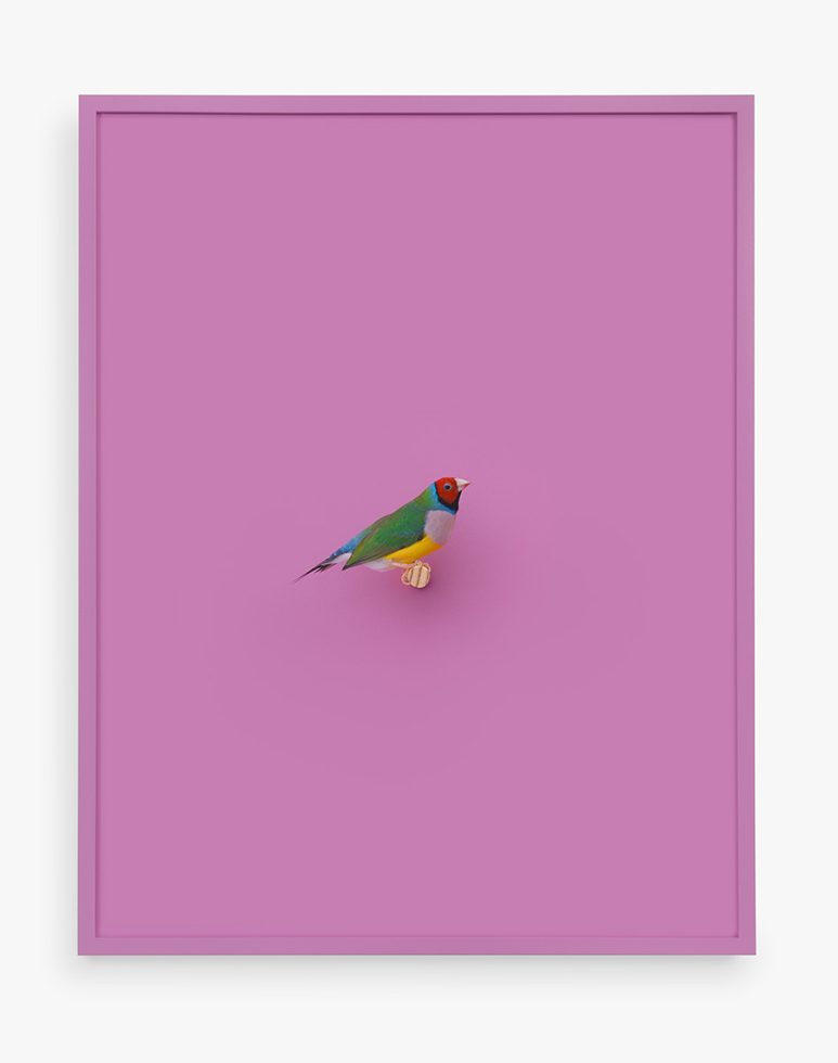 Lady Gouldian Finch (Pink Raspberry)