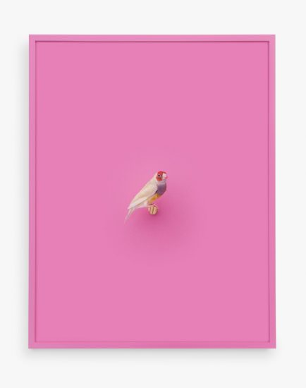 Daniel Handal, Orange Headed Gouldian Finch (Cerise)