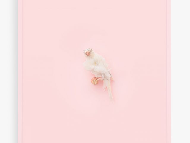 Daniel Handal, White Parisian Frilled Canary (Cotton Candy)