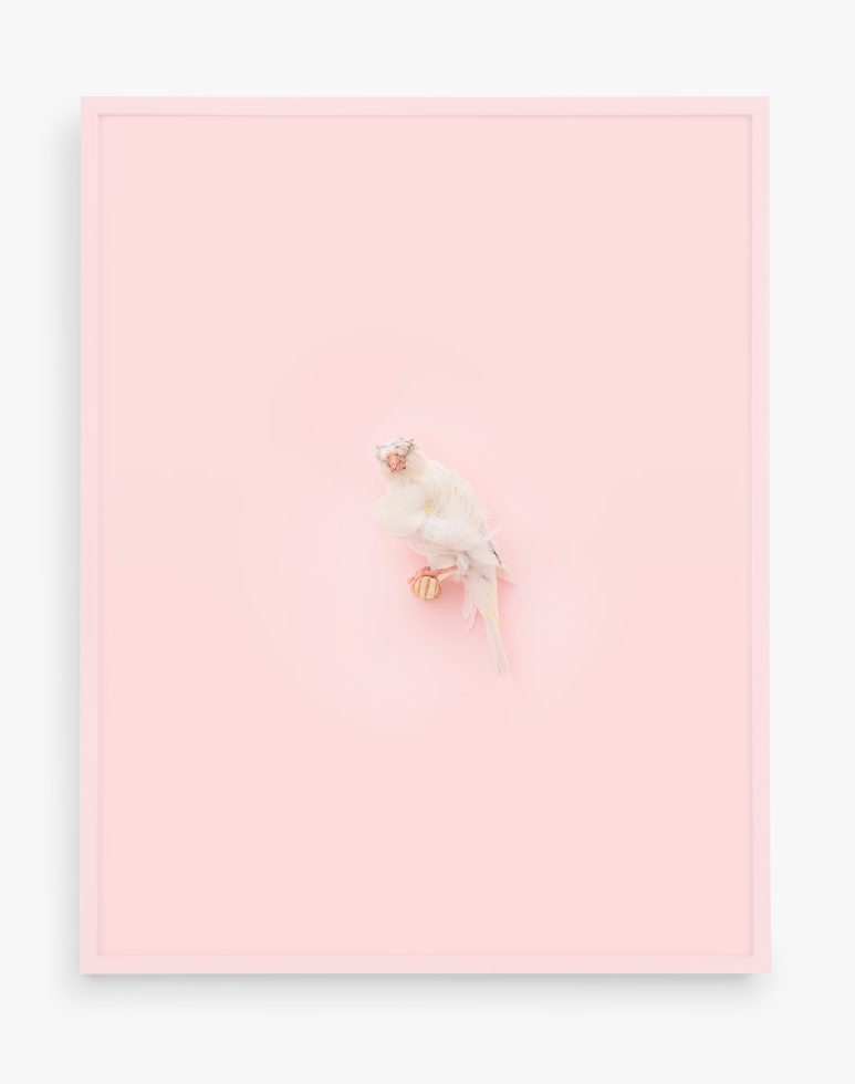 White Parisian Frilled Canary (Cotton Candy)