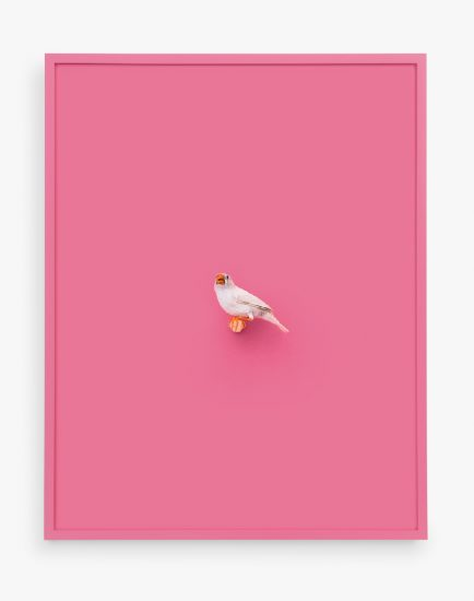 Daniel Handal, White Zebra Finch (Tickle Me Pink)