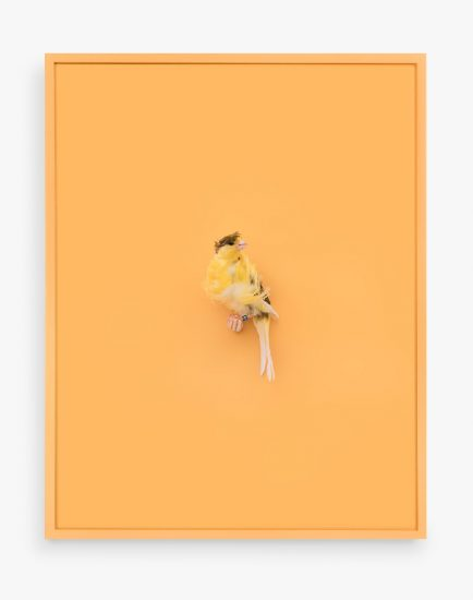 Daniel Handal, Yellow Parisian Frilled Canary (Acqua Santa)