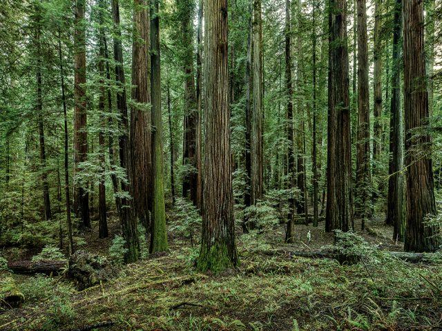 Olaf Otto Becker, Redwoods 02, California, 2009