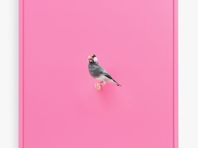 Daniel Handal, Java Rice Finch, Bubble Gum