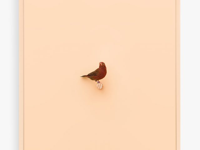 Daniel Handal, Senegal Fire Finch, Peach Puff