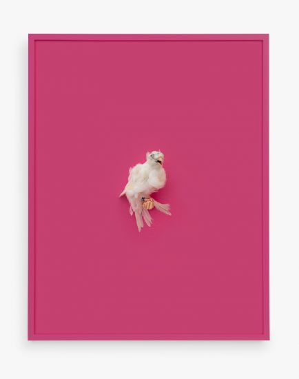Daniel Handal, White Parisian Frilled Canary (Wild Strawberry)
