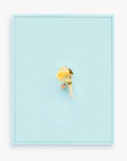 Daniel Handal, Yellow Parisian Frilled Canary (Baby Blue)