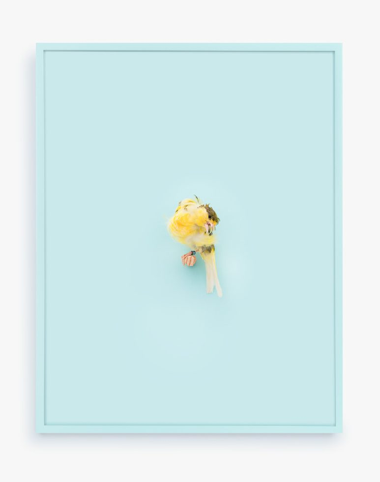 Yellow Parisian Frilled Canary (Baby Blue)