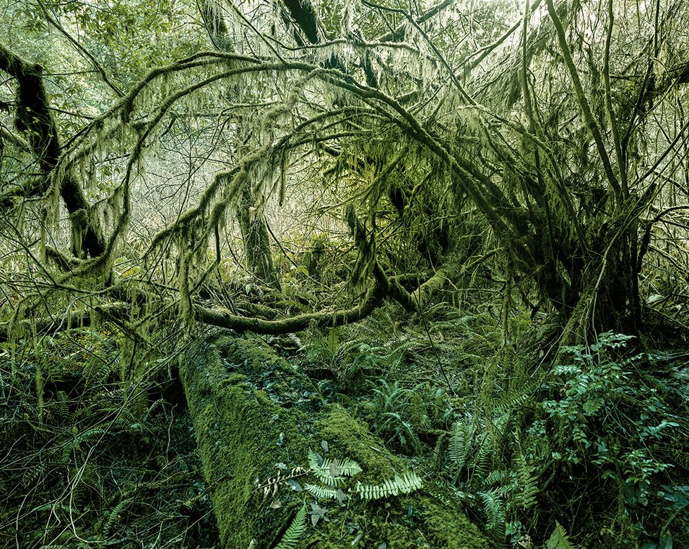 Branches and Ferns, Redwoods, California, 2009