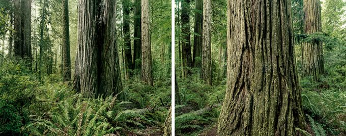 Olaf Otto Becker, Diptych, Redwoods, California, 2009