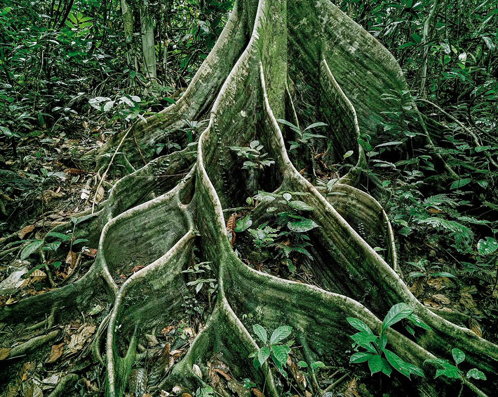 Primary Forest 18, Roots, Malaysia, 10/2012