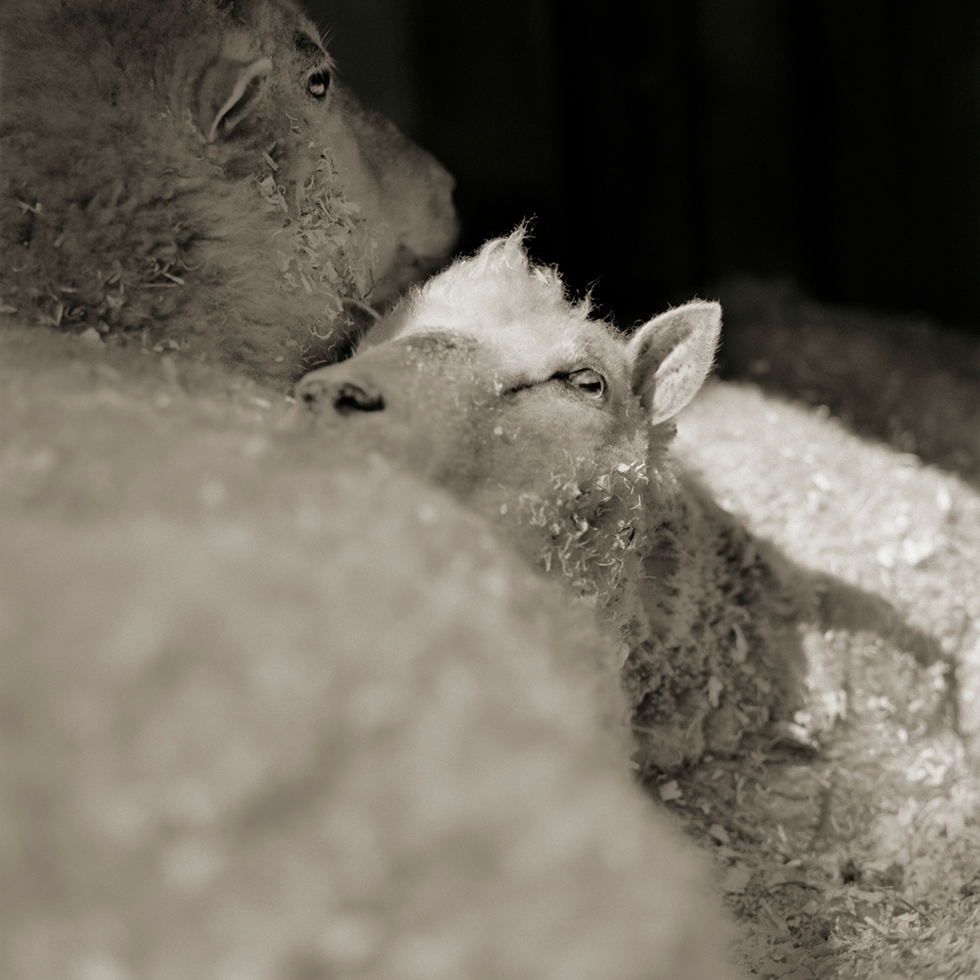Zebulon and Isaiah, Finnsheep, Both Age 12