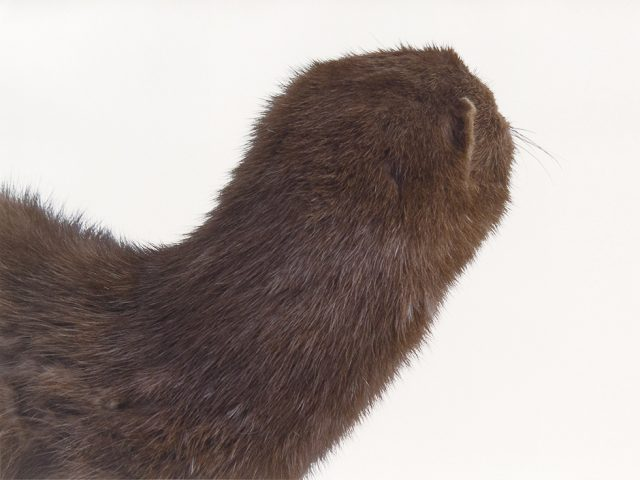Roni Horn, A Mink Look