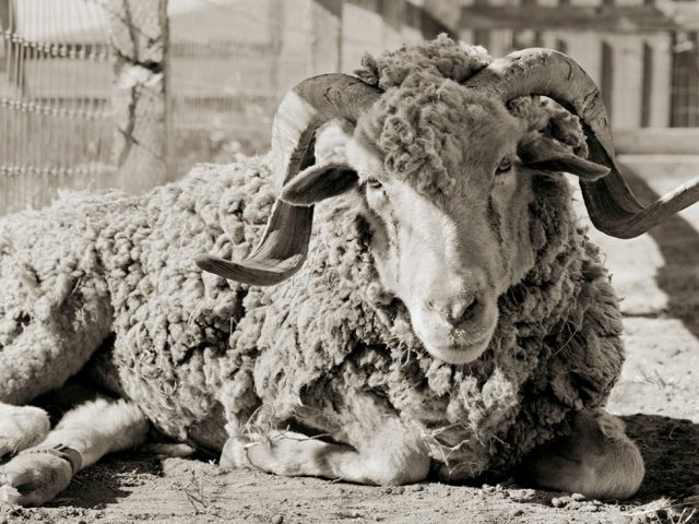 Isa Leshko, Bogart, Santa Cruz Sheep, Age 16